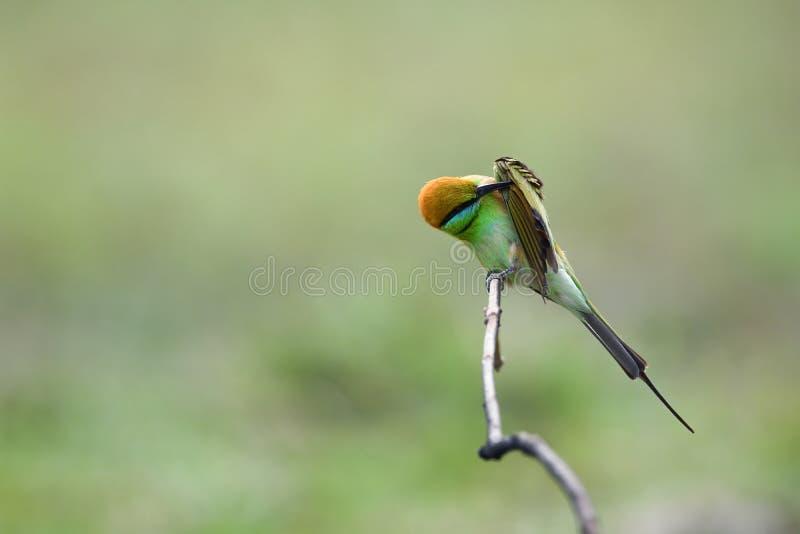 Зеленый Пчел-едок, общая птица в Таиланде стоковая фотография rf