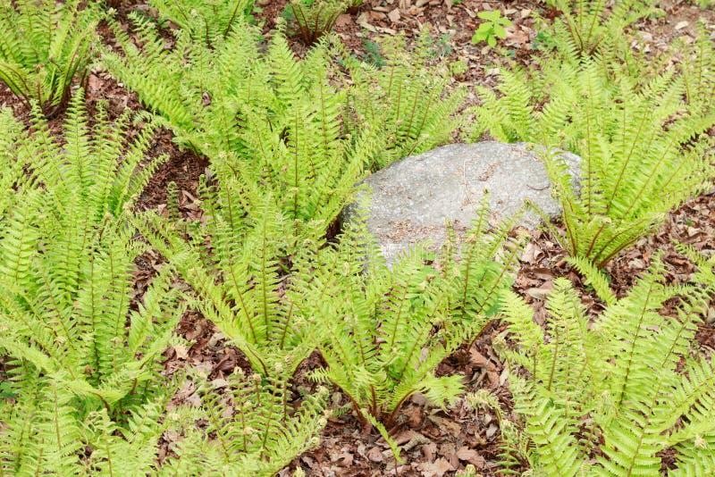 Зеленый расти папоротник-орляка стоковая фотография rf