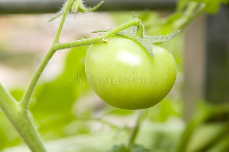 зеленый растущий томат стоковые изображения rf