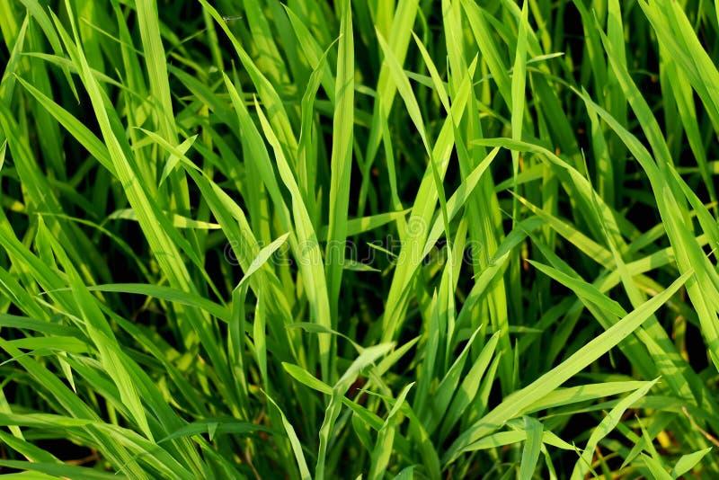 Зеленый рис в предпосылке поля стоковое изображение rf
