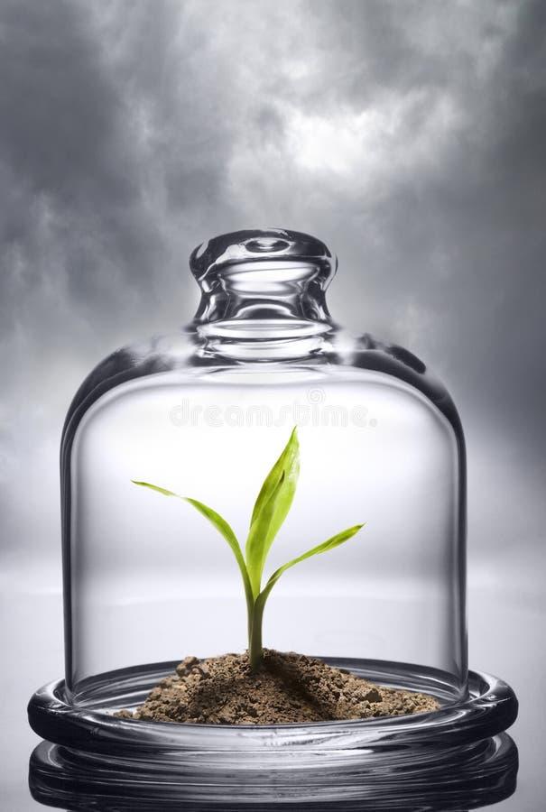 Зеленый росток под защитой стеклянной крышки environmental стоковые фотографии rf