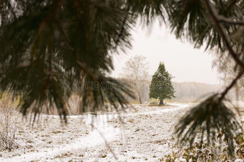 Зеленый спрус в снеге через снег покрыл ветви дерева стоковое изображение