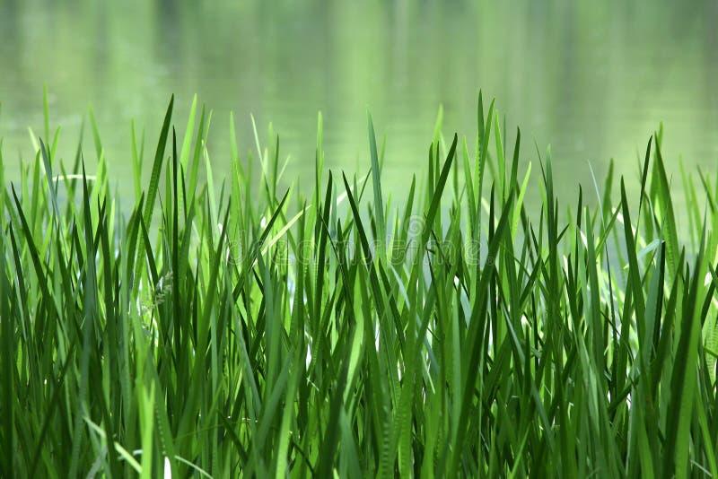зеленый тростник озера стоковая фотография
