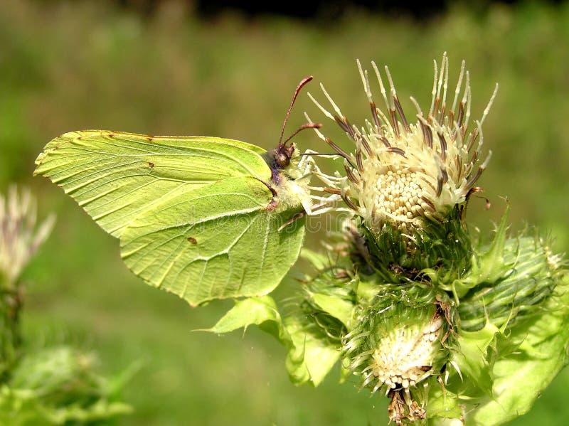 зеленый цвет бабочки стоковое фото