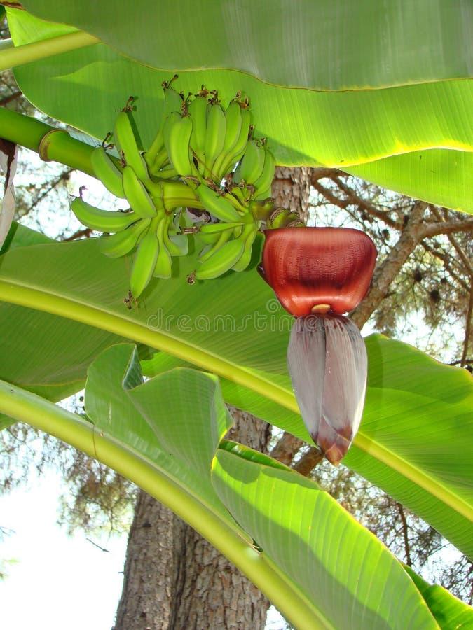 зеленый цвет банана большой яркий близкий выходит вал вверх стоковая фотография