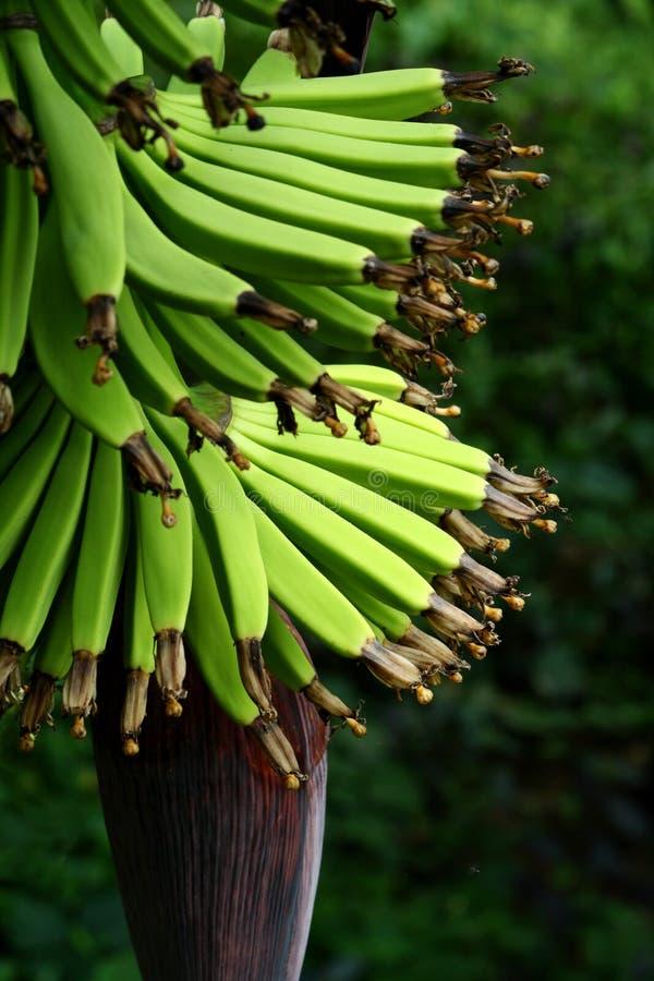 зеленый цвет банана стоковое фото rf
