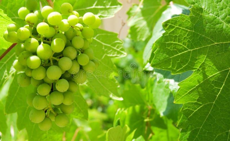 зеленый цвет виноградины стоковое фото rf