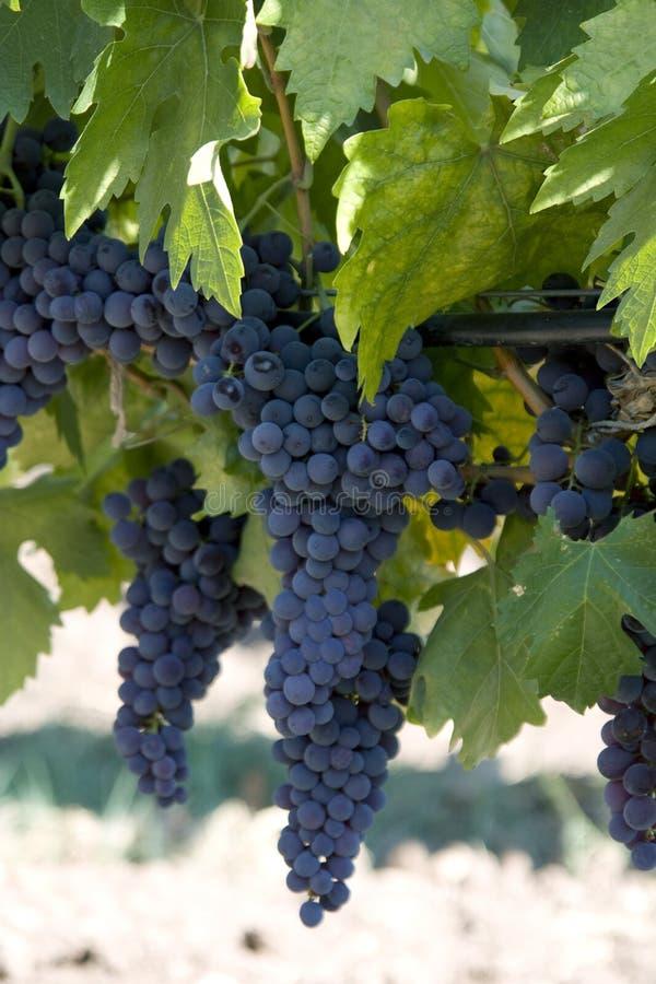 зеленый цвет виноградин сада стоковое изображение rf