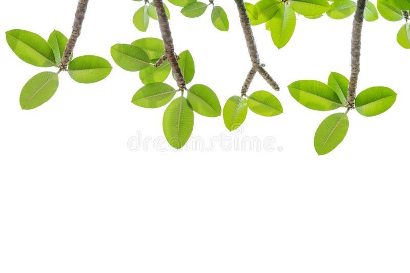 зеленый цвет выходит белизна стоковая фотография rf