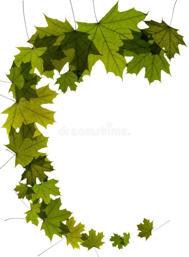 зеленый цвет выходит вал клена стоковая фотография