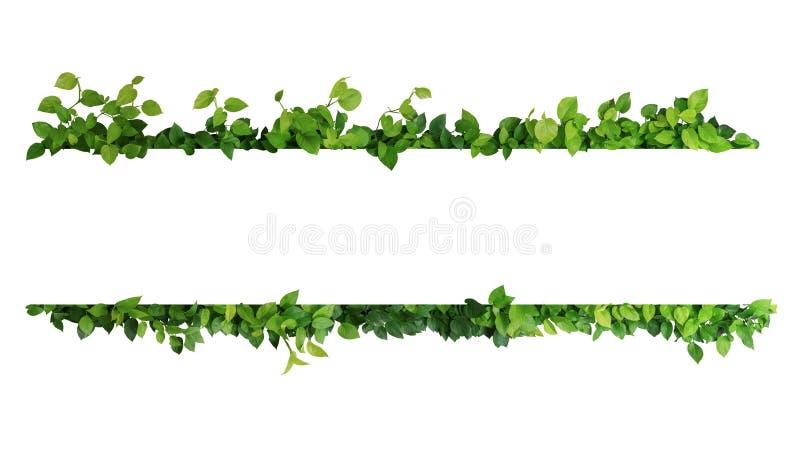 Зеленый цвет выходит граница рамки природы плюща ` s дьявола или золотого pothos стоковое фото