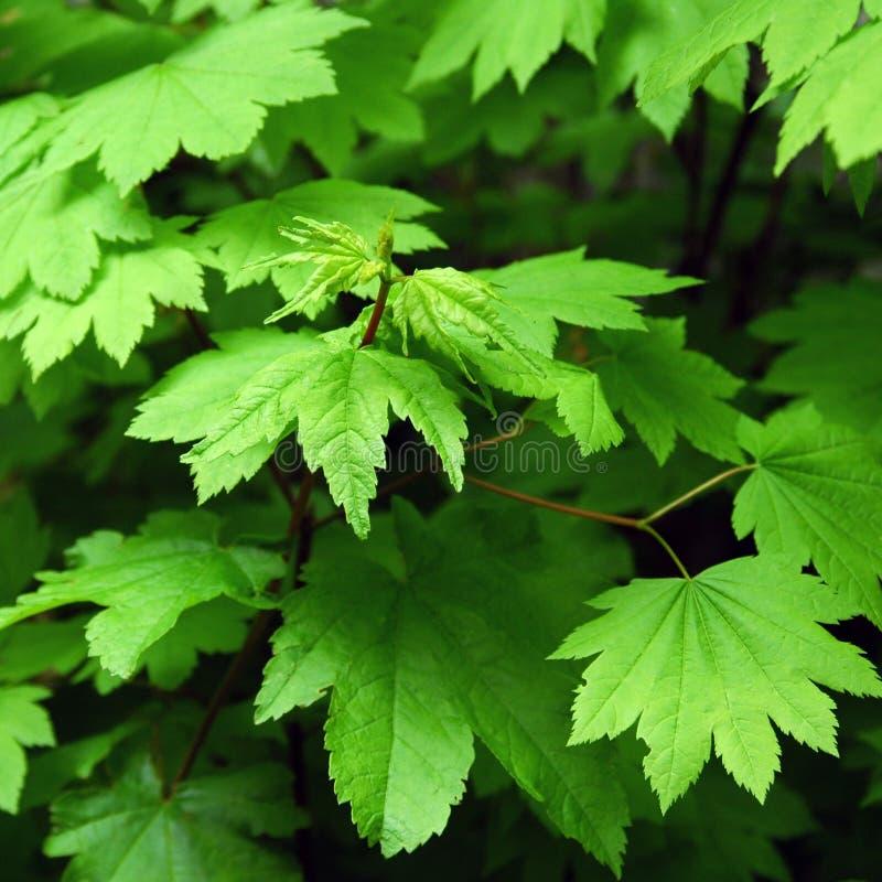 зеленый цвет выходит клен стоковая фотография