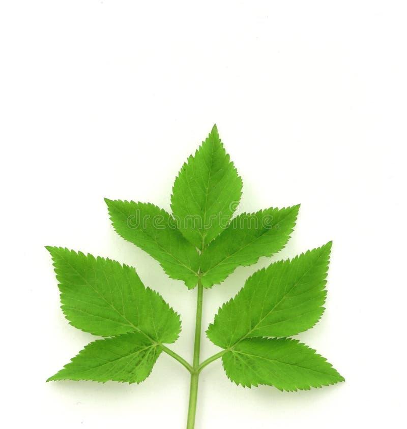зеленый цвет выходит около симметричного стоковые фотографии rf