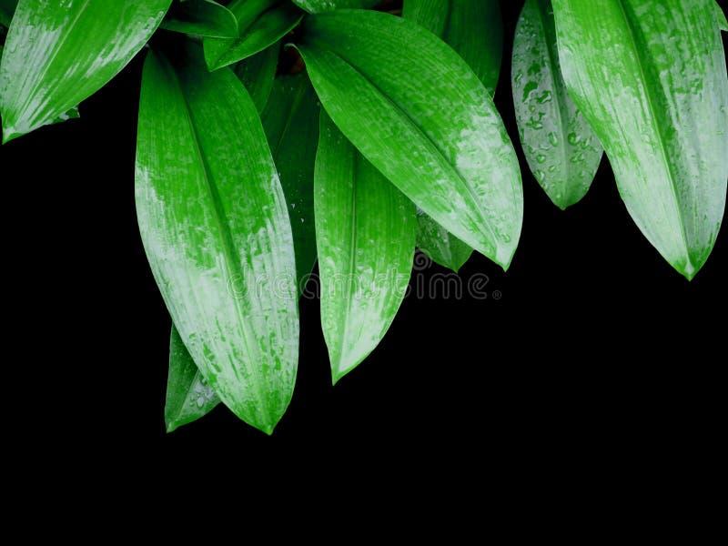 Зеленый цвет выходит при изолированные падения воды на черную предпосылку стоковое фото
