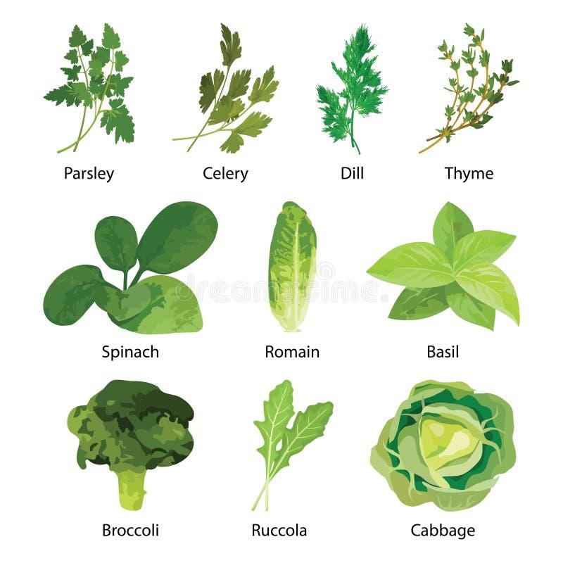 зеленый цвет выходит салат Комплект лист еды вектора вегетарианский здоровый изолированный на белизне иллюстрация штока
