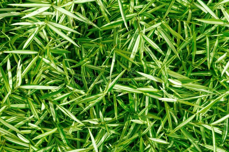 зеленый цвет выходит спайдер shrub завода стоковое фото