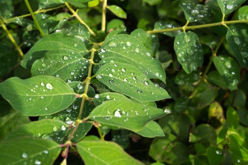 Зеленый цвет выходит с падениями воды после дождя роса выходит дождь стоковое фото rf