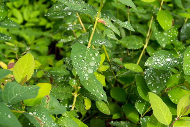 Зеленый цвет выходит с падениями воды после дождя роса выходит дождь стоковые фотографии rf