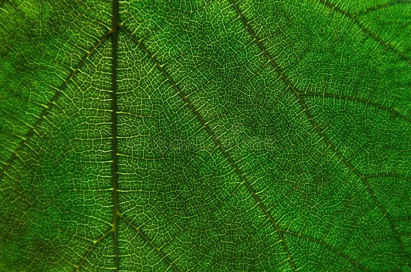 Зеленый цвет выходит текстура и волокно лист, обои деталью gree стоковые изображения rf