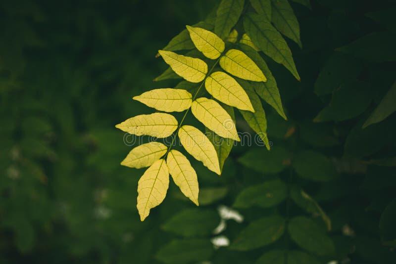 Зеленый цвет выходит текстура и предпосылка Закройте вверх по взгляду зеленых листьев на темной предпосылке стоковое фото