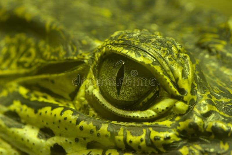 зеленый цвет глаза аллигатора стоковые фотографии rf