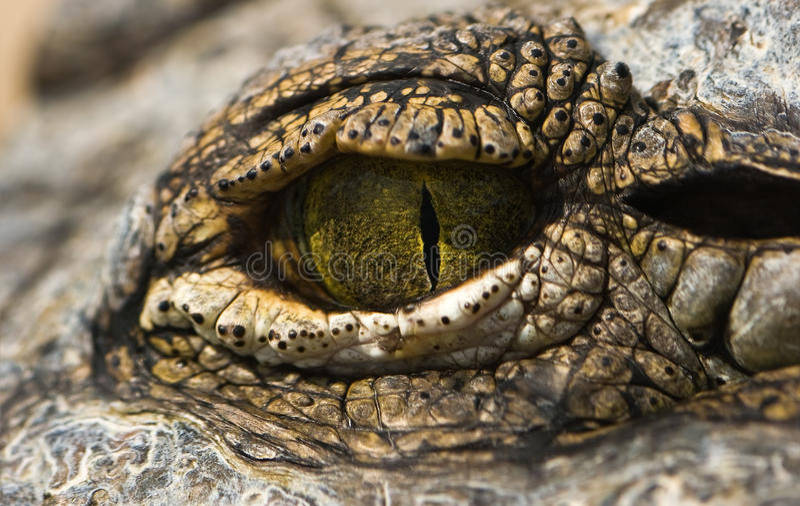 зеленый цвет глаза крокодила стоковое изображение rf