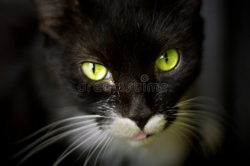 зеленый цвет глаз кота шикарный стоковое изображение rf
