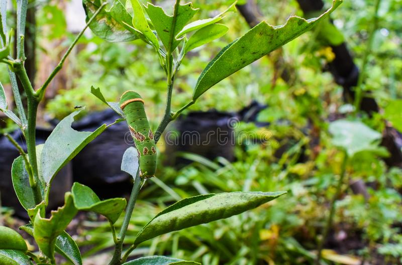 Зеленый цвет гусеницы стоковые фото