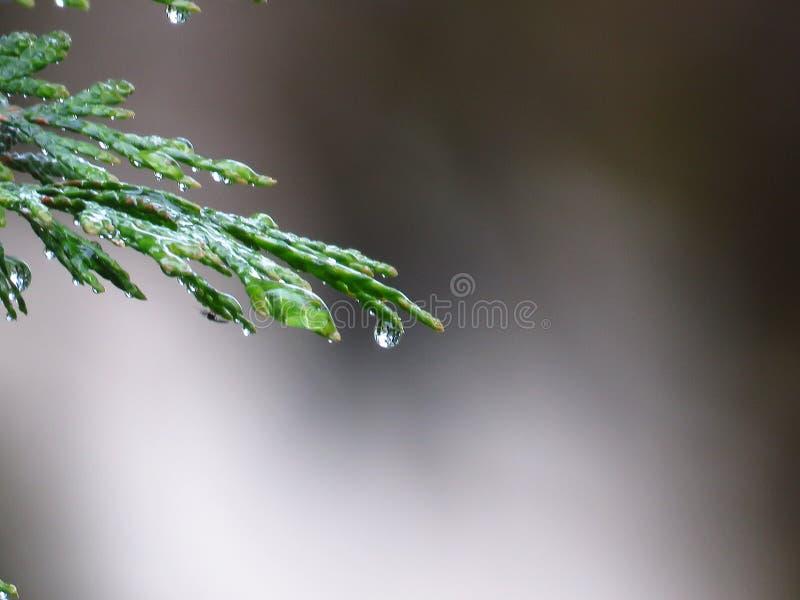 Зеленый цвет дерева кипариса выходит взгляд крупного плана предусматриванный с падениями дождя o стоковая фотография rf