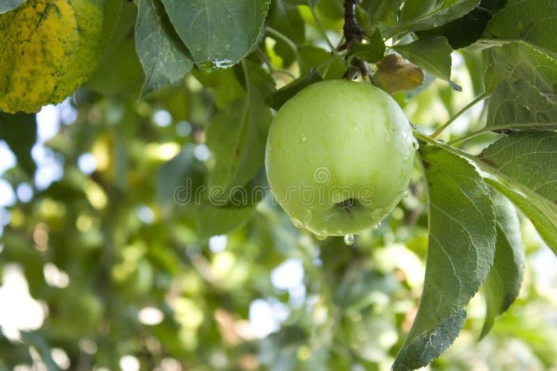 зеленый цвет конца ветви яблока вверх стоковая фотография