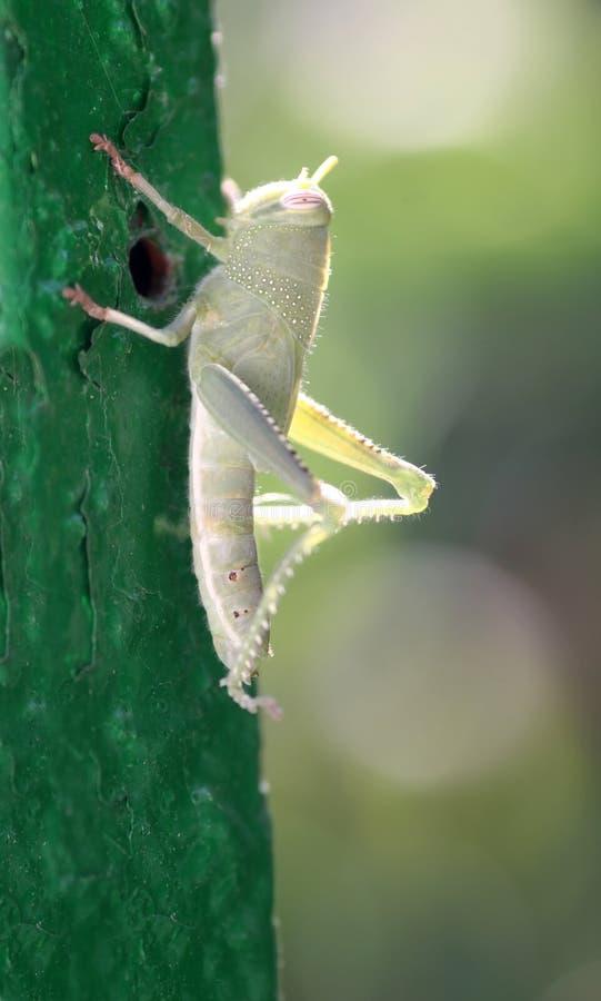 зеленый цвет кузнечика стоковая фотография rf