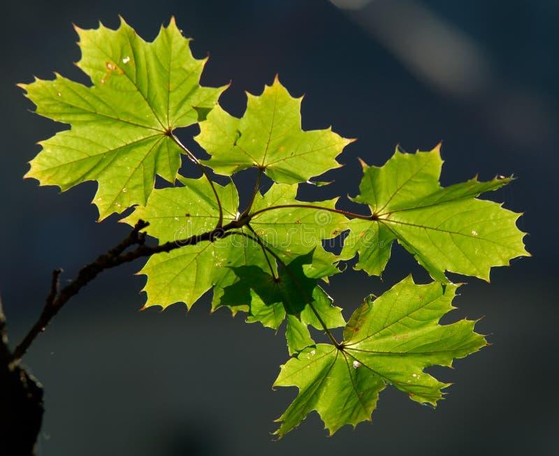 зеленый цвет листва стоковые изображения