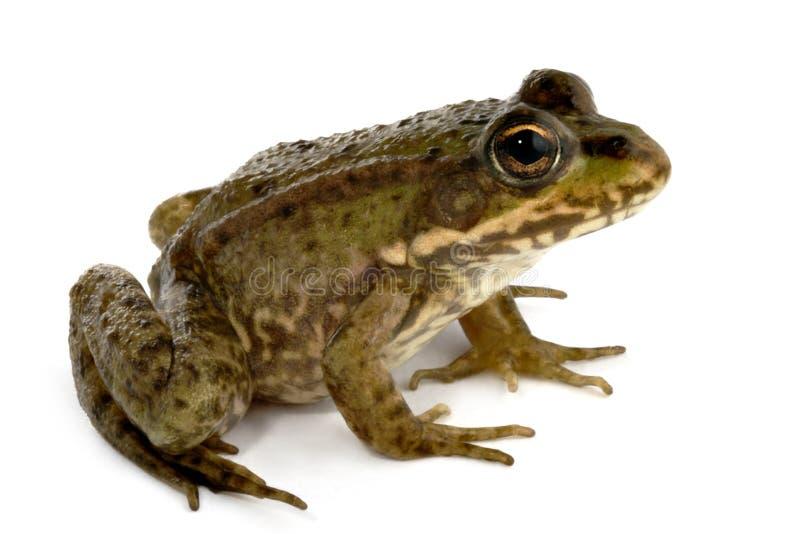 зеленый цвет лягушки стоковое фото
