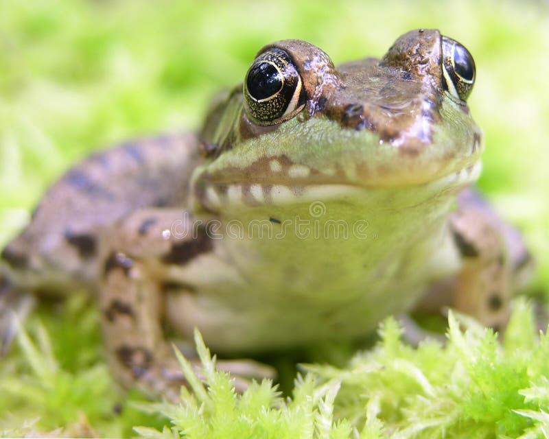 зеленый цвет лягушки стоковое изображение rf