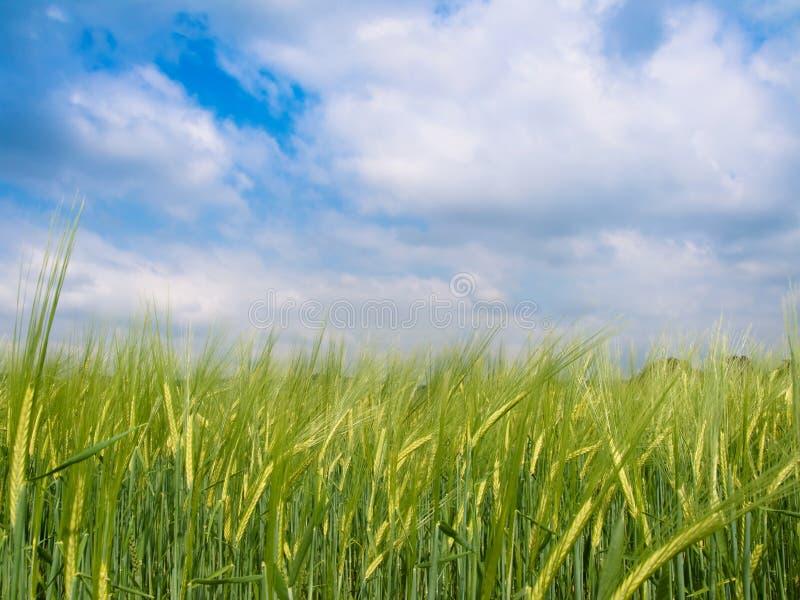 зеленый цвет поля ячменя стоковое фото