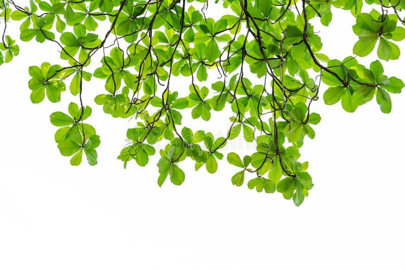 зеленый цвет предпосылки выходит белизна стоковое изображение