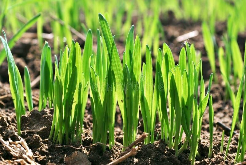 Зеленый цвет пшеницы стоковое фото