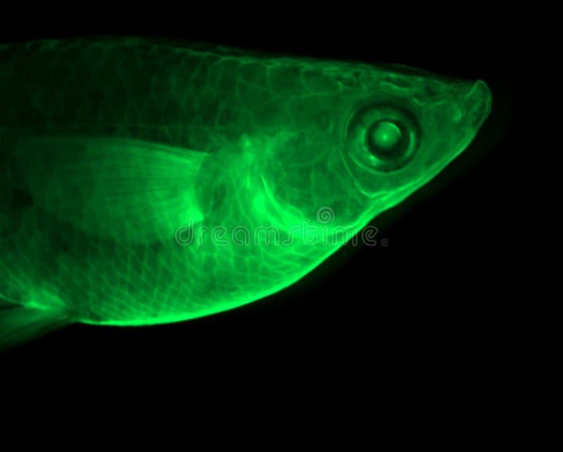зеленый цвет рыб стоковое изображение