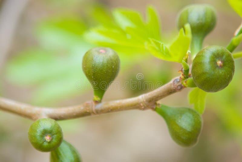 зеленый цвет смокв стоковое изображение