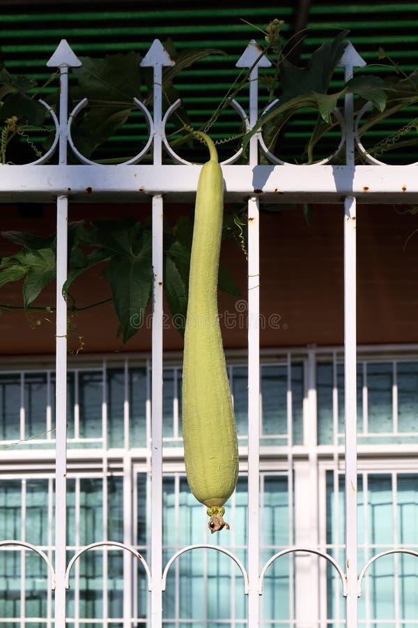 Зеленый цвет тыквы губки на загородке, cylindrica Spong Luffa губки Vegetable, заводе тыквы тыквы губки свежести, Luffa, luffa ил стоковое фото