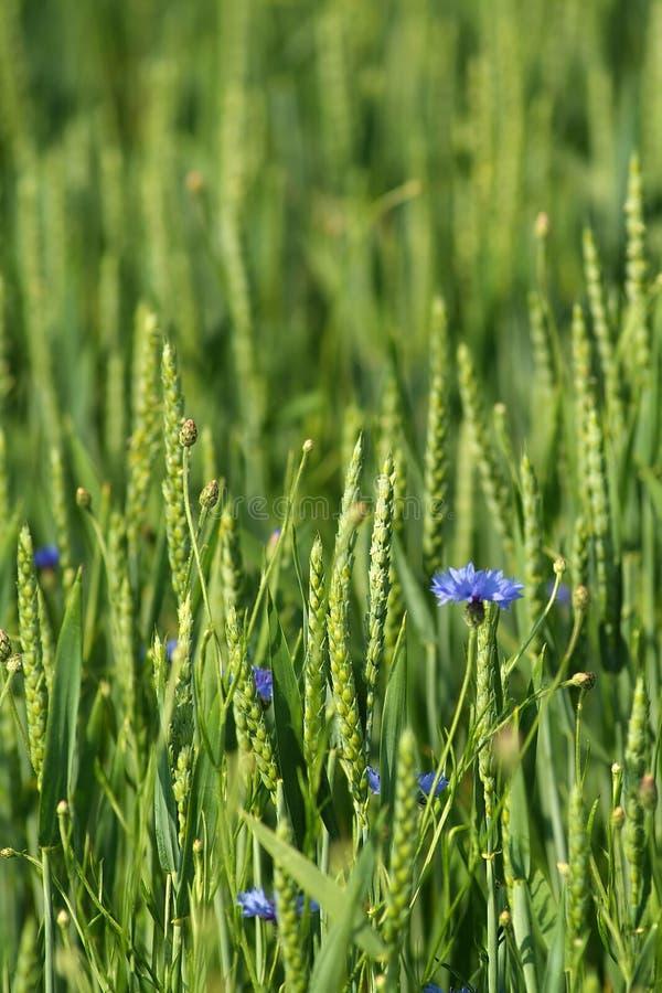 зеленый цвет урожаев стоковое изображение