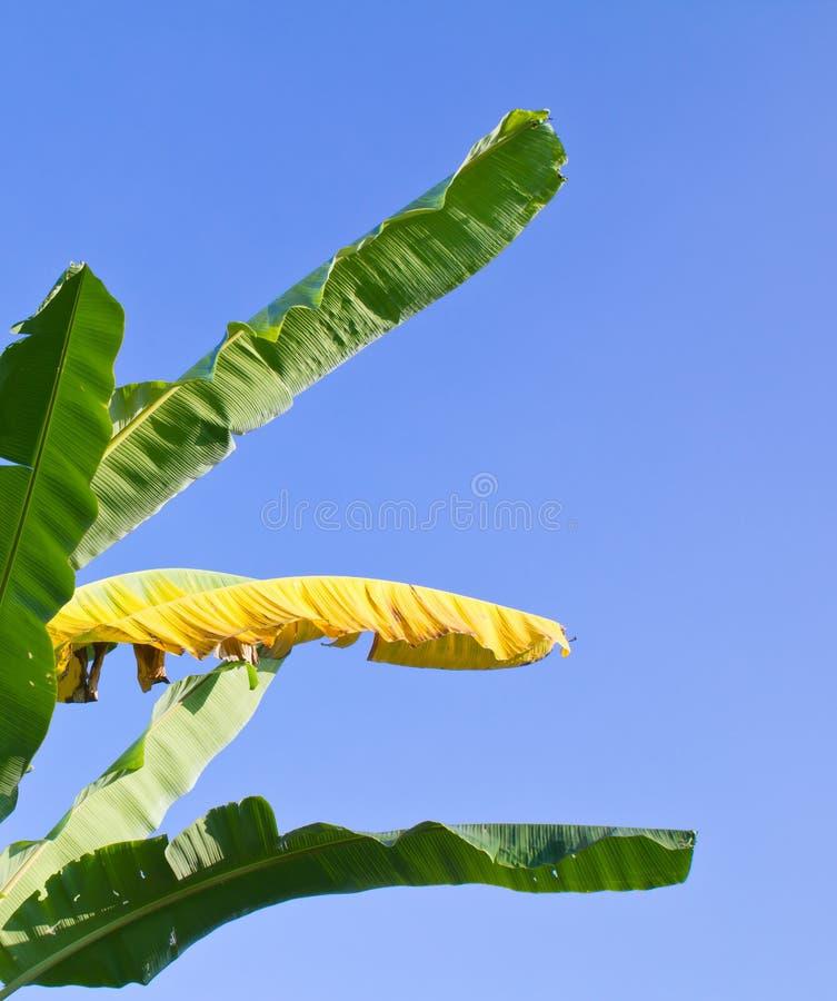 зеленый цвет цвета банана выходит желтый цвет стоковая фотография