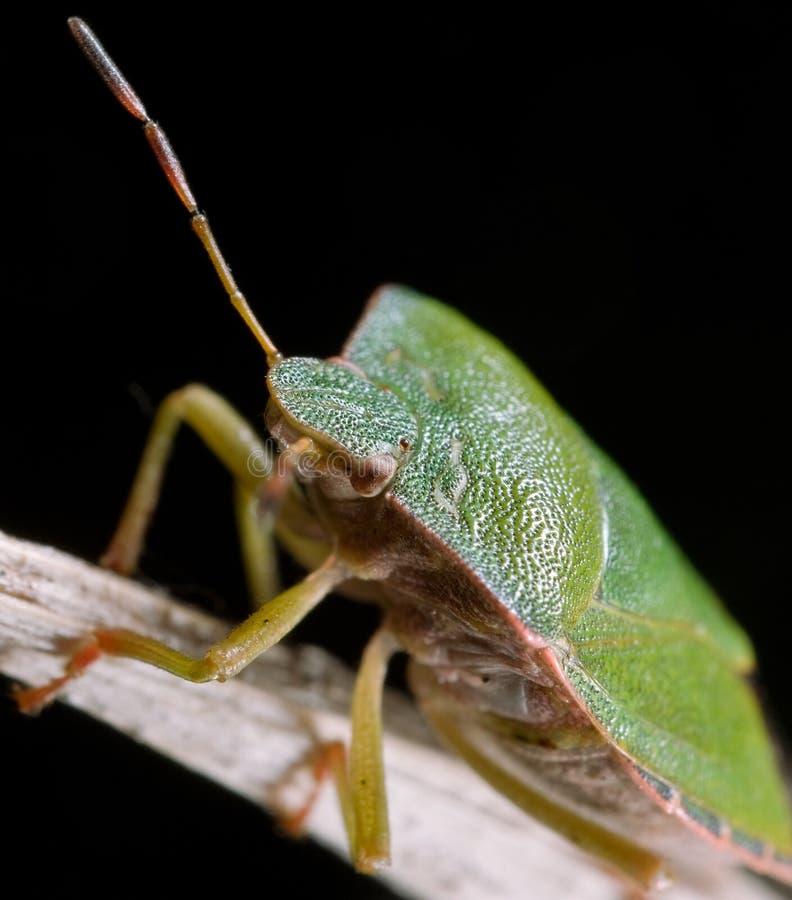 зеленый цвет chinch стоковое фото rf