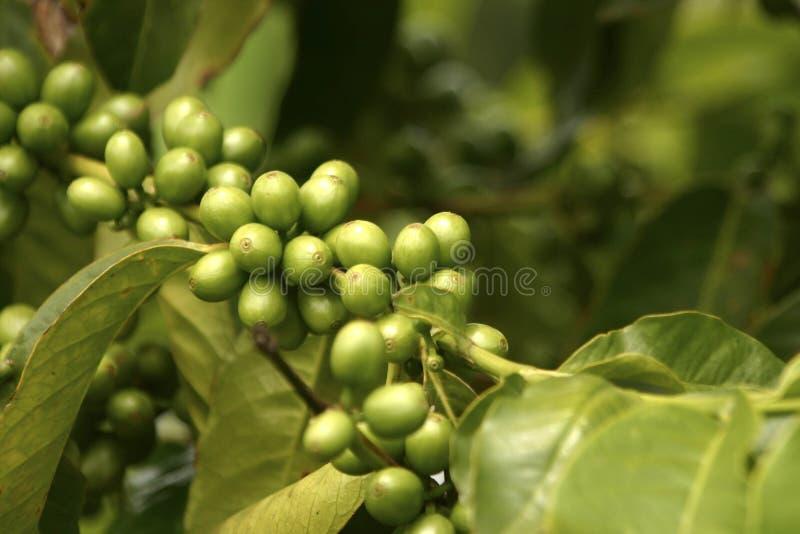 зеленый цвет coffe фасолей стоковое изображение