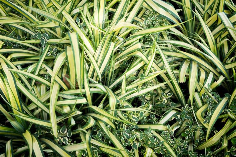зеленый цвет comosum chlorophytum выходит спайдер завода стоковое изображение