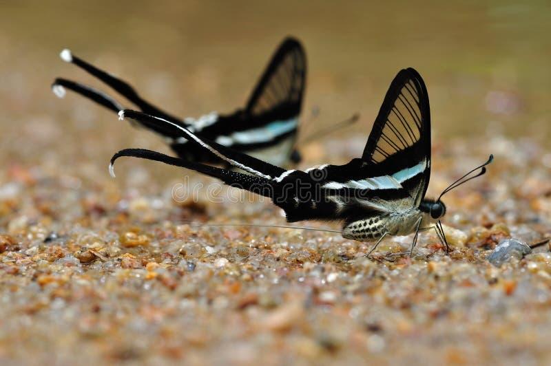зеленый цвет dragontail бабочки стоковое изображение rf