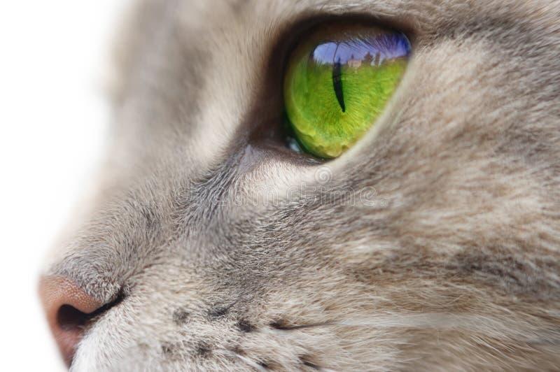 зеленый цвет eyed котом стоковое изображение rf