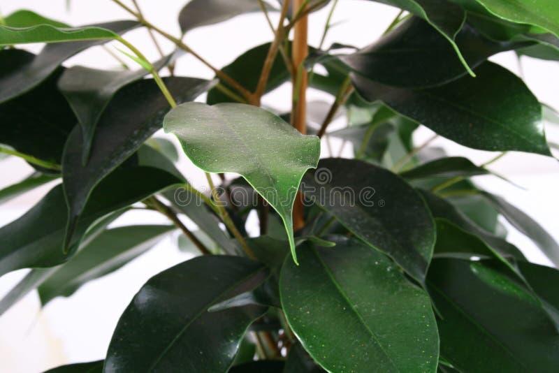 зеленый цвет ficus стоковые фотографии rf