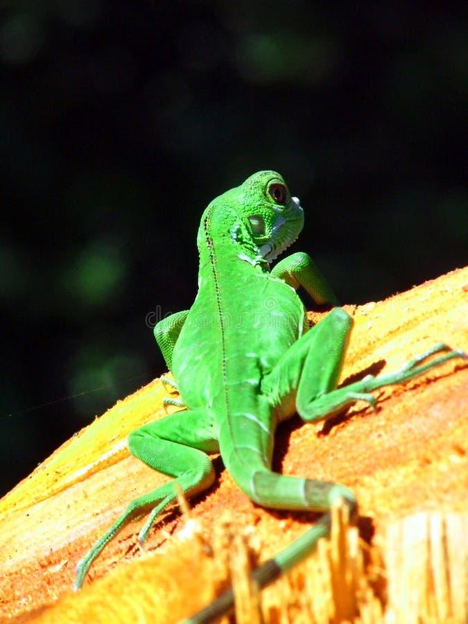 Download зеленый цвет gecko стоковое изображение. изображение насчитывающей ящерица - 479767
