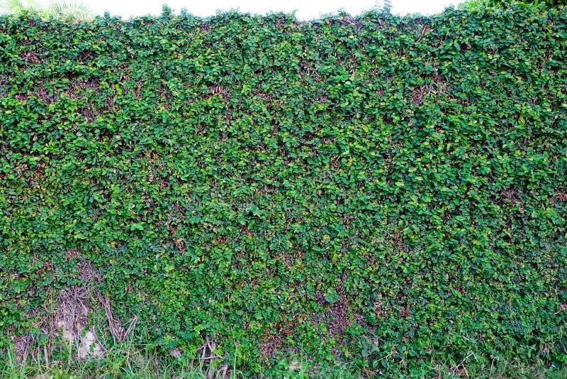 Зеленый цвет pumila фикуса выходит предпосылка дерева стены стоковые фото